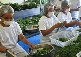モリンガ茶の生産農園/工場2