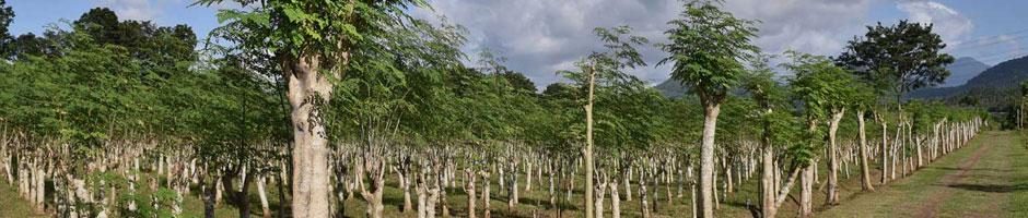 モリンガ茶の生産農園/工場1